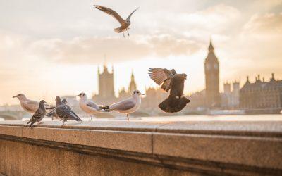 Que faire lorsque des pigeons ont élu domicile dans votre maison ?